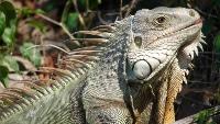 iguana scenesters
